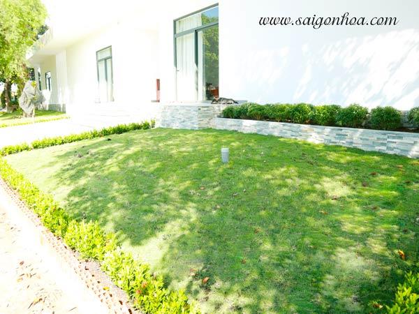 Trồng cỏ tạo mảng xanh sân vườn