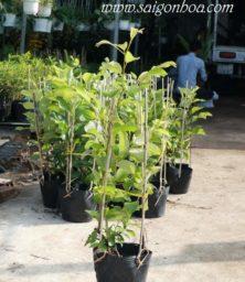Tận dụng ban công sân thượng trồng cây ăn quả