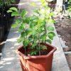 7 nguyên nhân cây ăn quả trồng chậu không ra trái