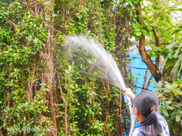 Tưới nước cho tường gừa