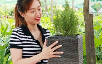 Chậu trồng cây sợi mây Ladiva có thật sự tiện lợi?