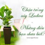 Chậu trồng cây Ladiva những điều bạn chưa biết