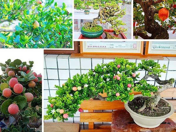 cây si rô bonsai