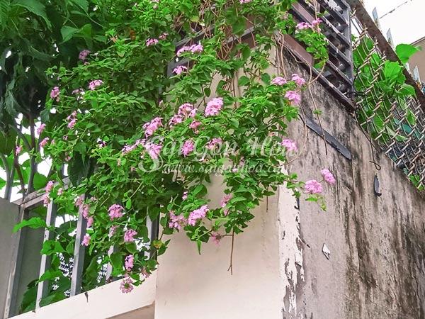 Cây Trâm Ổi Hoa Tím