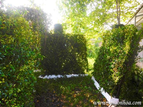 Tường cây gừa - vẻ đẹp độc đáo cho hàng rào nhà bạn