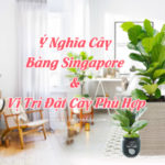 Ý nghĩa cây bàng singapore