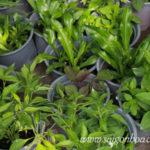 Mách bạn cách tự trồng cây cho ban công mùa Cúm