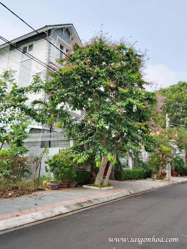 6 loài cây bóng mát lý tưởng cho mặt tiền biệt thự