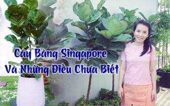 Cay Bang Singapore 1