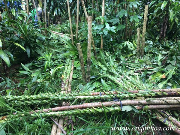 Cách biến thiết mộc lan già cỗi thành cây phát tài xanh non