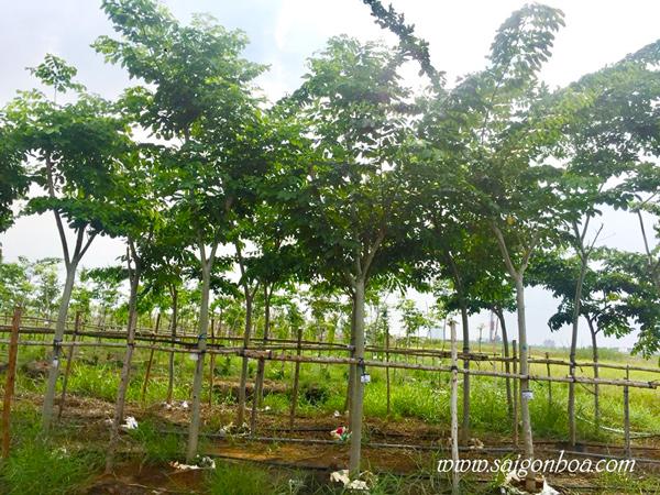 Cay Giang Huong