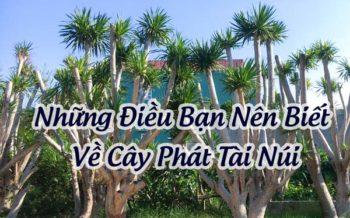 Cay Phat Tai Nui