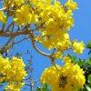cây bóng mát nở hoa rực rỡ