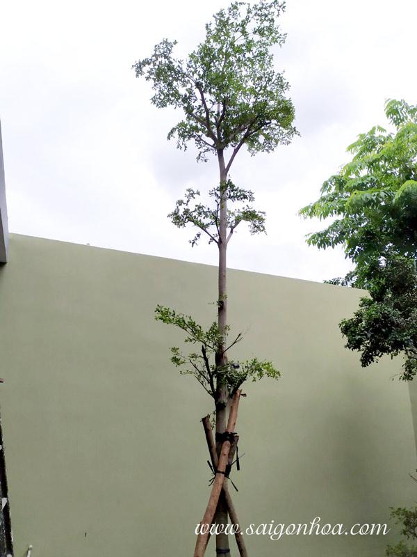 Nên trồng cây bóng mát vào mùa mưa