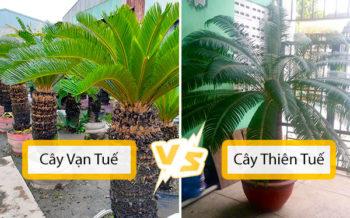 Cay Van Tue Cay Thien Tue