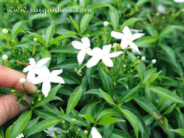 Hoa Mai Van Phuc