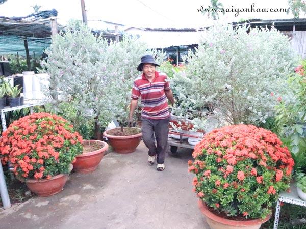 Những Cây Được Cắt Tỉa Tán Thông Đẹp Tại Vườn Sài Gòn Hoa