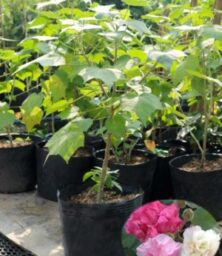 Cay Hoa Phu Dung Co Hoa 300X400 1
