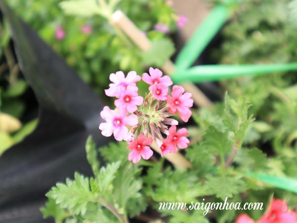 Hoa Cuc Indo