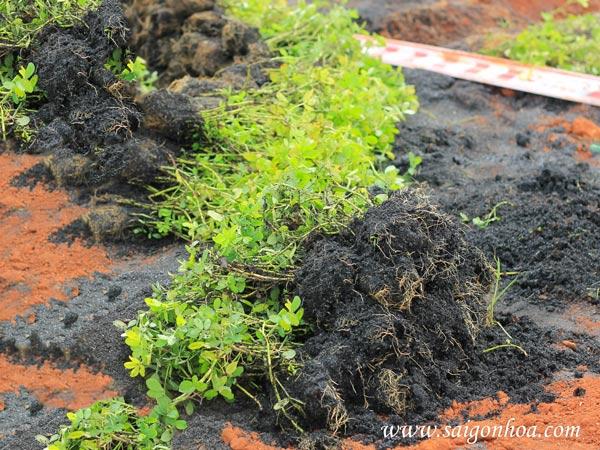 Cách trồng cỏ đậu phủ nền vàng tươi cho sân vườn