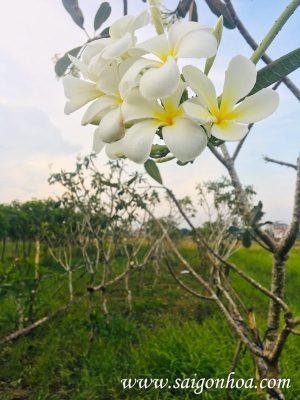 Hoa Su Dai