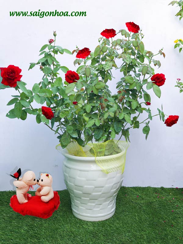 Cây Hoa Hồng Nhung