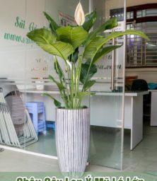Chau Lan Y My Da Mai