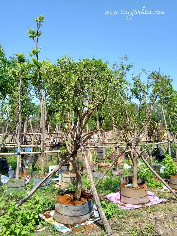 Noi Ban Cay Quyt