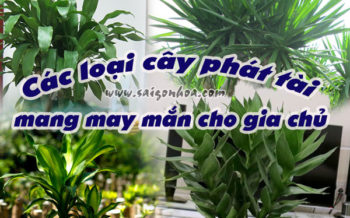 Cac Loai Cay Phat Tai
