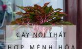Cay Hop Menh Hoa