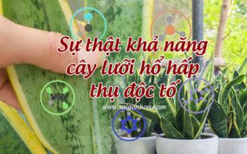 Cay Luoi Ho Hut Doc To