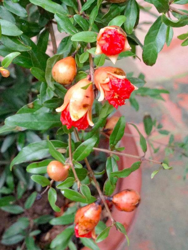 Cây Lựu Cho Quả