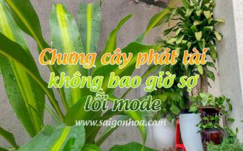 Chung Cay Phat Tai