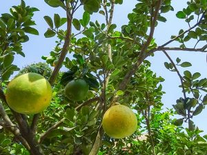 Cay Buoi San Vuon