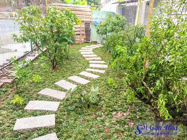 Cay So Ri Trang Tri San Vuon