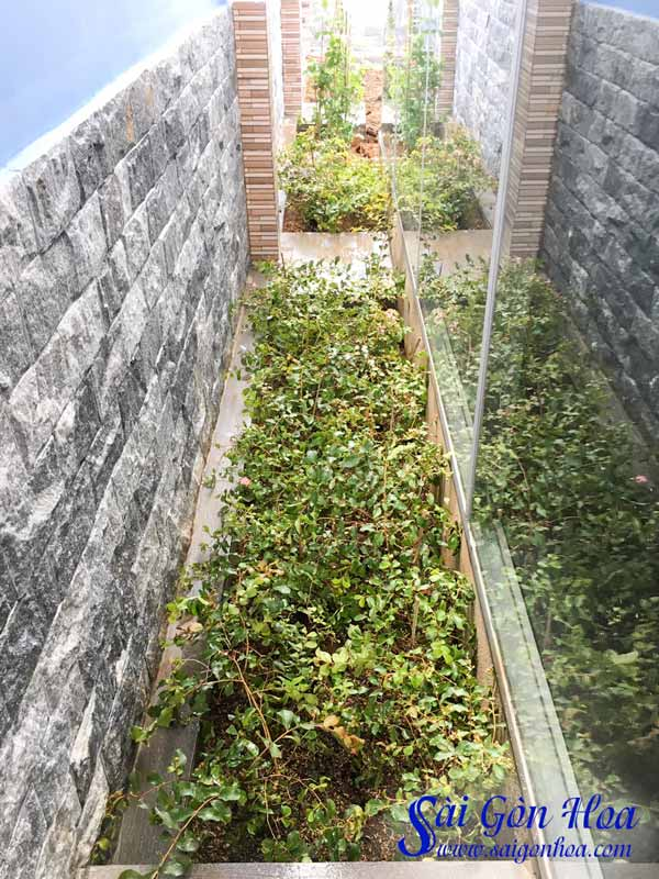 Cây Tường Vi Hoa Tím Trồng Bồn