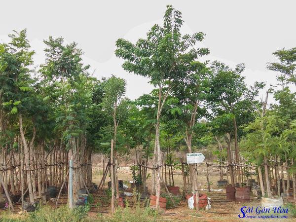Vuon Uom Giang Huong
