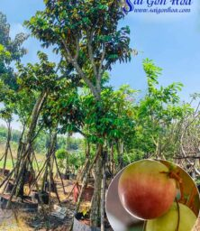 Ban Cay Vu Sua San Vuon