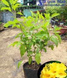 Cay Hoa Huynh Lien