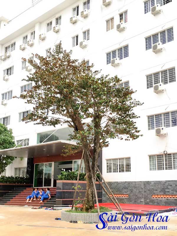 Cay Vu Sua Trong Truong Hoc