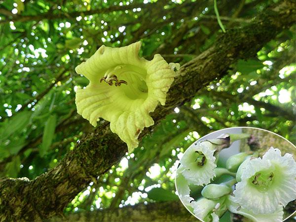 Hoa Cay Dao Tien