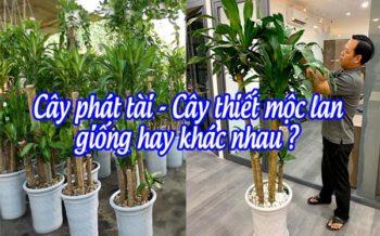 Phat Tai Thiet Moc Lan Giong Khac Nhau
