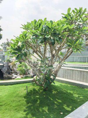Trong Cay Su Dai Cho San Vuon