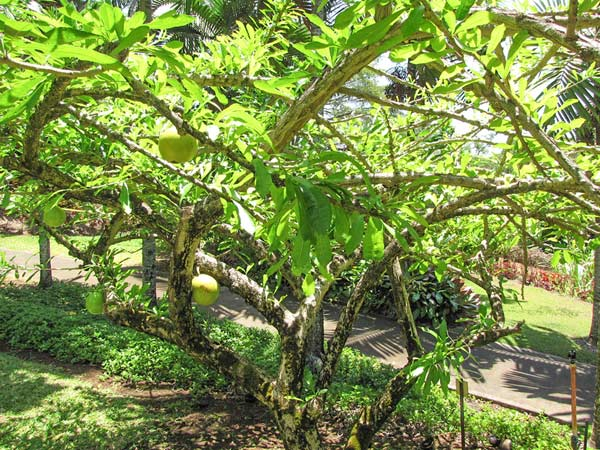 Cây Đào Tiên Trồng Sân Vườn