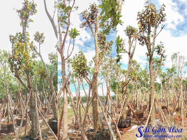 Vuon Uom Cay Vu Sua