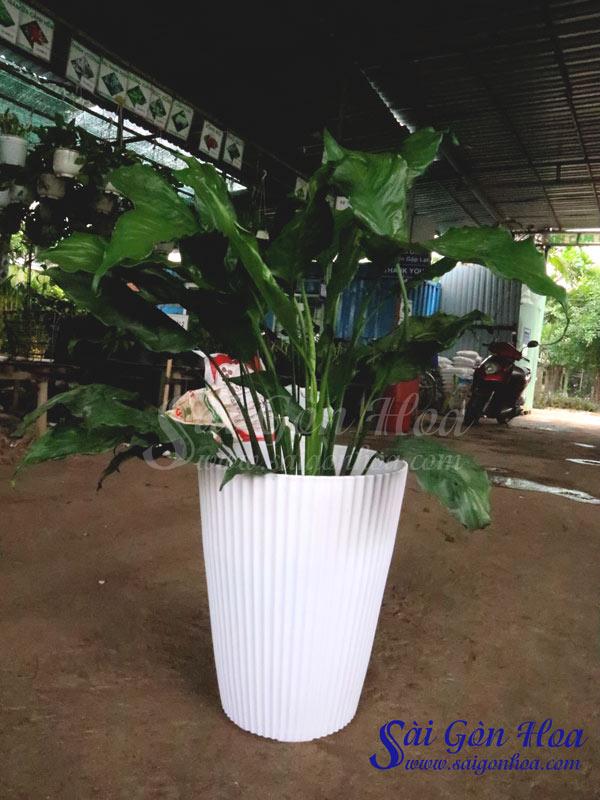 Chau Trang Gan Soc