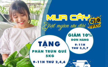Mua Cay Gio Vang Giat Ngan Uu Dai