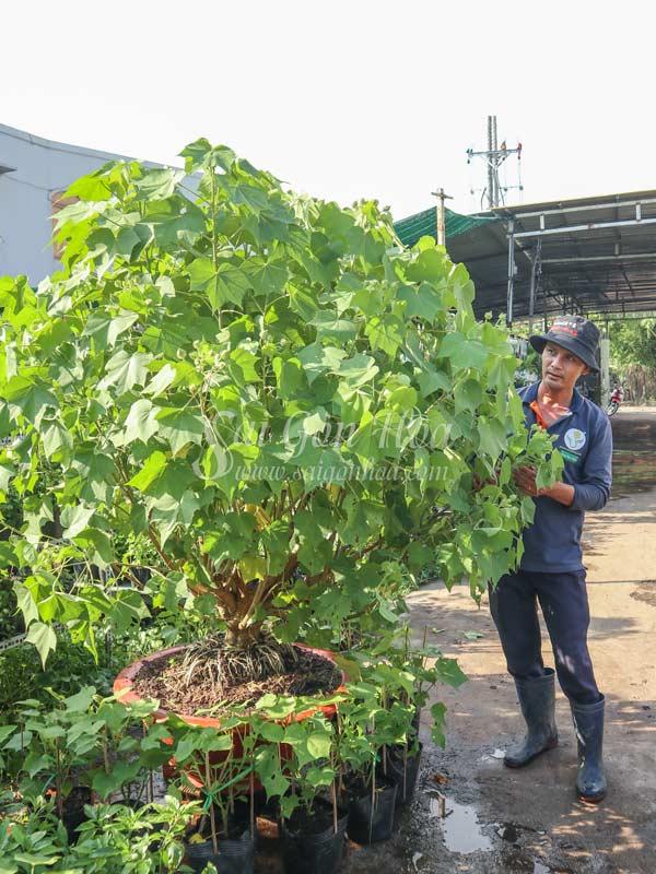 Ban Cay Hoa Phu Dung