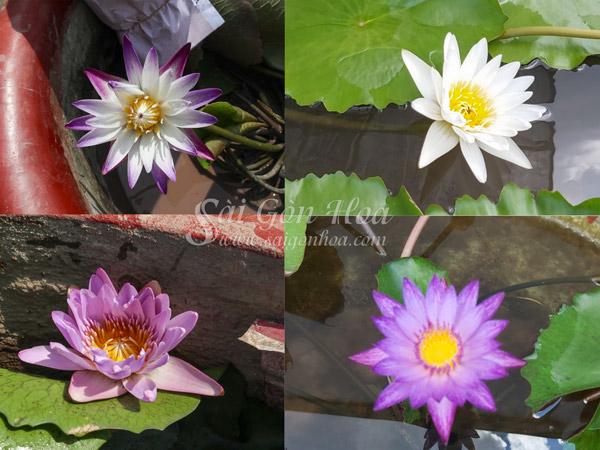 Cac Mau Hoa Sung Thai