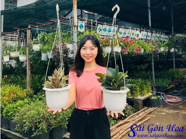 Cay Truong Sinh Hong Trong Chau Treo